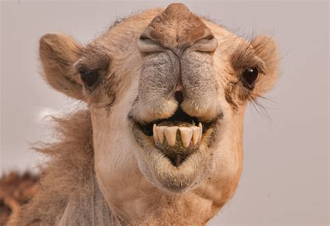 Find Pics Of I Camel Showing Teeth Search In Pictures