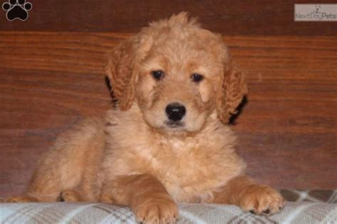 goldendoodle puppies near me goldendoodle puppy for sale near lancaster pennsylvania ee12f35b a3f1