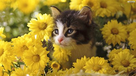 cat wallpaper pinterest cats in flowers cats wallpapers cats flowers