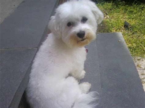 havanese circus dogs the havanese breed has won numerous admirers with his extended silky hair
