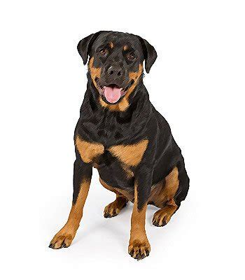 expectancy rottweiler rottweiler breed information