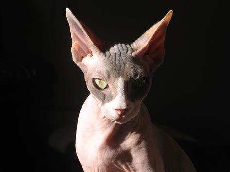 sphynx pictures pics images and photos for inspiration