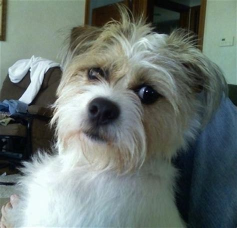 shih tzu terrier mix ratshi terrier breed information and pictures