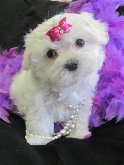 free maltese puppies teacup maltese puppies for free adoption memes