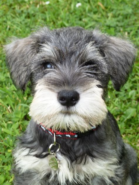 pictures of schnauzer puppies miniature schnauzer pups 8 weeks m5x eu