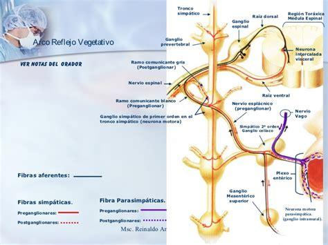 cadena ganglionar simpatica cervical sistema nervioso autonomo roque 2