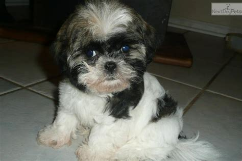 malshi puppy mal shi breeds picture