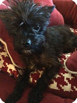 yorkie rescue manchester manchester ct yorkie terrier poodle miniature mix meet catarina meet