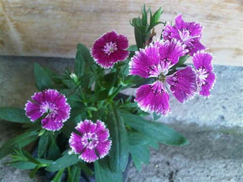 Media Tanam Bunga Buah Nst 10 Kg Khusus Gojek Instant Courier tanaman purple baby doll bicolor bibitbunga