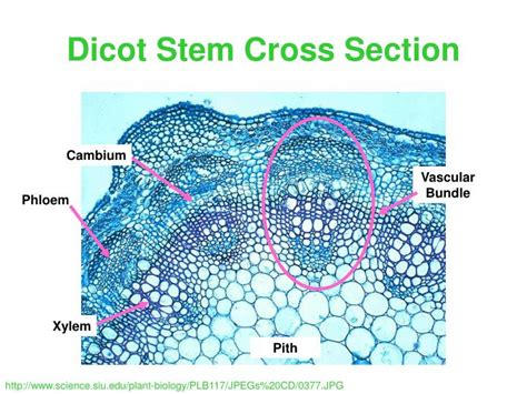 root cross section dicot ppt leaf cross section low power powerpoint