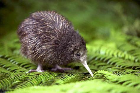 kiwi kiwi a flashpacking journey around new zealand books wissenswertes 252 ber neuseelands bedrohten kiwi