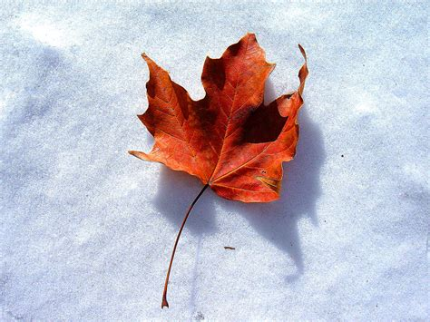snow on maple leaves cooke from the pastor page 3 memorial baptist church