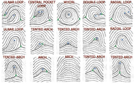 pattern rights definition 10 facts about arch fingerprints arches tented arches