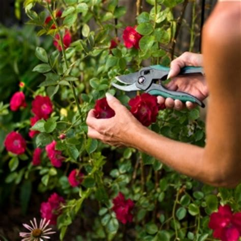 How To Care For Patio Roses by How To Take Care Of Your Roses Home Information Guru