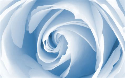 light blue and white roses miscellaneous baby blue rose desktop wallpaper nr 58503