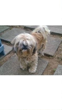 found shih tzu found lost shih tzu yonkers ny 169 craigslist map data 169 openstreetmap