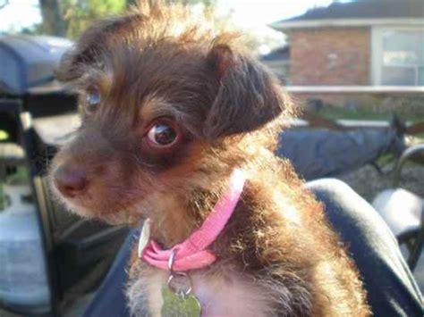 rat terrier mix puppies for sale poodle rat terrier mix photos breeds picture
