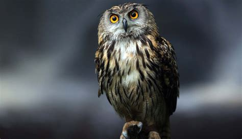 the owl who was night owl natural images best quality hd 1080p