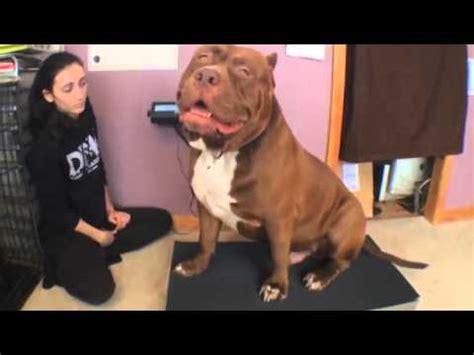 bull le le plus gros pitbull du monde