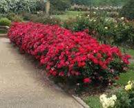 low maintenance flowers and flowering shrubs for landscape
