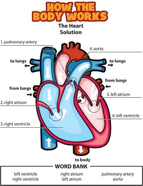 human vascular system diagram circulatory system wish i had this months ago