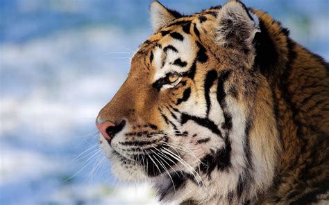new year animal tiger tiger wallpapers wallpaper cave