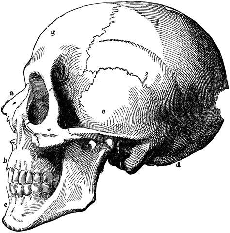 human skull diagram frontal skull diagram frontal free engine image for user