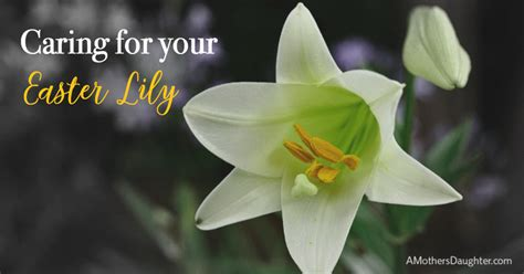 how to take good care of your beautiful easter lily a