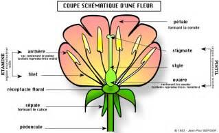 sch 233 ma de la coupe d une fleur