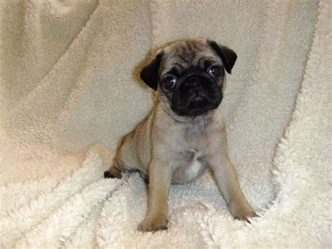 apricot fawn pug pretty apricot fawn pug puppy ilminster somerset pets4homes