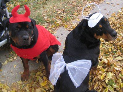 costumes for rottweilers 10 costumes that prove rottweilers always win at
