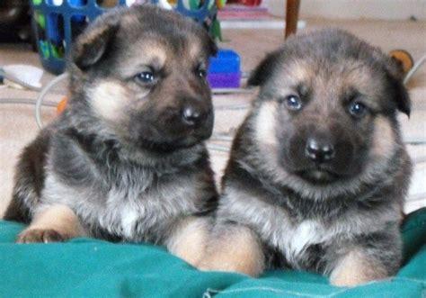 german shepherd puppies for sale in mn german shepherd puppies minnesota zoe fans baby animals