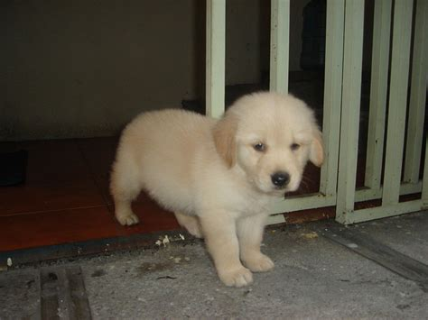 5 week puppy without file puppy golden retriever jpg wikimedia commons