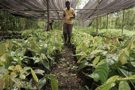 Bibit Kakao mengembalikan kakao belanda di pedalaman papua kenapa