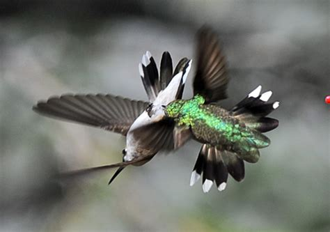 hummingbirds fight for feeder rights startribune com