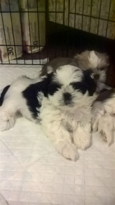 shih tzu puppies for sale tyne and wear shih tzu puppy for sale newcastle upon tyne tyne and wear pets4homes