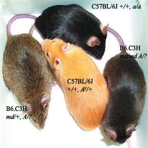 color mouse jci the mouse mahoganoid coat color mutation disrupts a