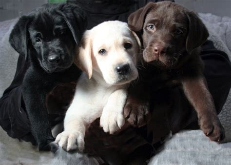 color labs 1000 images about labrador retriever three colors on