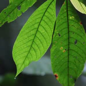 Rainforest leaves the purpose of leaves is to