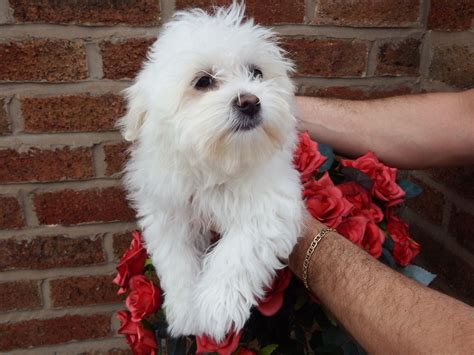 bolognese for sale beautiful bolognese puppy for sale lancashire pets4homes