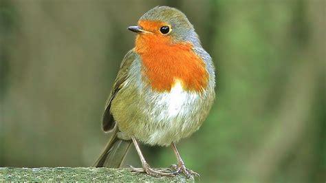 rouge gorge familier oiseaux chantants chant d oiseaux