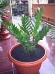 Zamia Kulkas bonsai