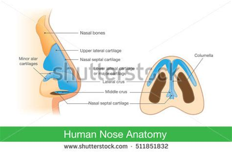 anatomy of human nose nose human anatomy organs template baldaivirtuves info nose anatomy stock images royalty free images vectors