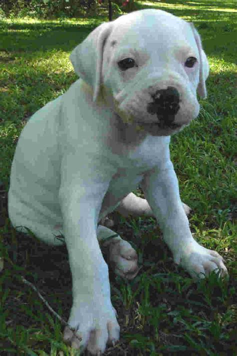 bulldog puppies best american bulldog puppies breeds index