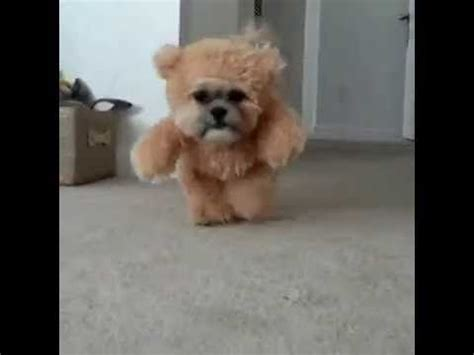 when do shih tzu stop growing munchkin the shih tzu and teddy costume dresses teddy and bears