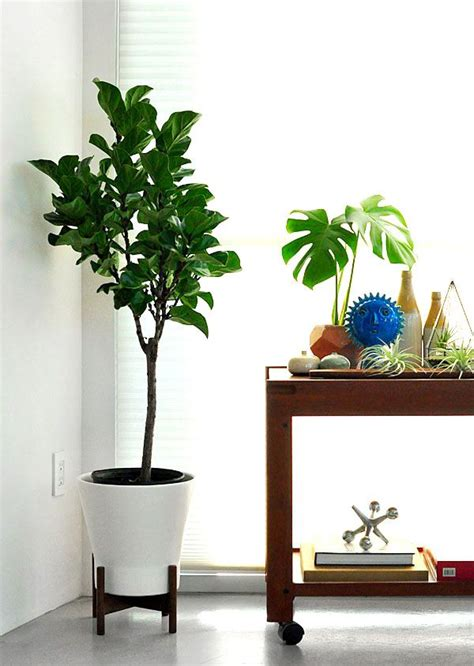 fiddle leaf fig tree  mod ceramic white containerfrom