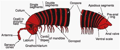labelled diagram of a millipede image gallery millipede diagram