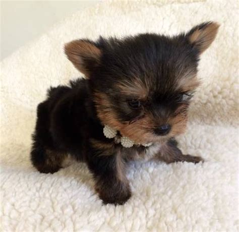 yorkie puppies for sale in south florida dogs breed golden retriever poodle mix gender age black