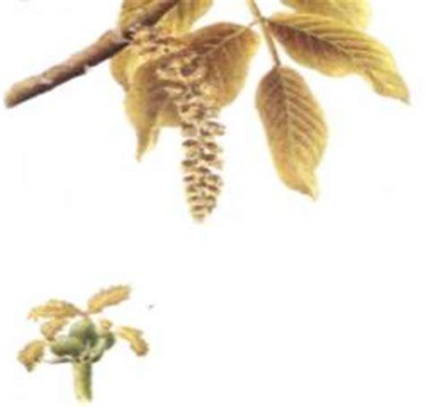 pianta ornamentale dai fiori penduli noce