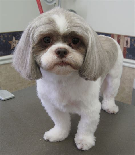 haired shih tzu shih tzu haired chihuahua mix